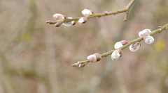 Pussy-willow twigs with catkins Stock Footage