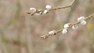 Stock Video Footage of Pussy-willow twigs with catkins