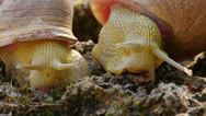 Stock Video Footage of alonensis snail iberus
