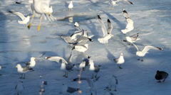 Seagulls on a half frozen lake in winter Stock Footage
