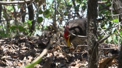 Turkey searching its nest and eggs after a lizard attack in Noosa National Park Stock Footage