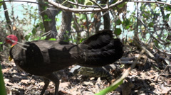 Turkey protecting its nest and eggs for a lizard in Noosa National Park, Stock Footage