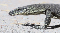 Big lizard walking in slow motion Stock Footage