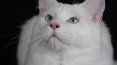 A pure white cute cat sees something curiously frontal to profile close Stock Footage