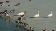Stock Video Footage of Canada Geese and Mute Swans in the Croton Reservoir 1