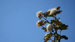 Viburnum snowball white bush branch blooms move on blue sky Stock Footage