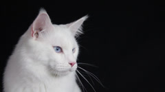 A pure white cute cat looks around long to watch something Stock Footage