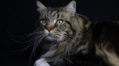 A striped tabby like tiger long, wide panned on a black background Stock Footage