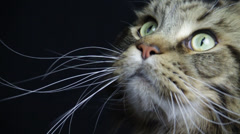 A striped tabby like a tiger closes face looks up, then down Stock Footage