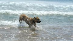 Dog running and jumping in the ocean waves Stock Footage