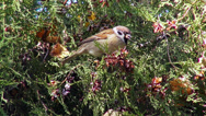 Stock Video Footage of Sparrow in the forest, small bird eating seeds from a coniferous tree