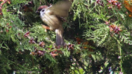Stock Video Footage of Hungry sparrow in the forest, small bird eating seeds from a coniferous tree