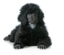 Stock Photo of standard poodle puppy