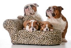 Bulldog family Stock Photos