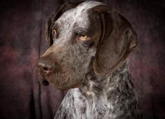 Stock Photo of german shorthaired pointer