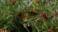 Stock Video Footage of Hungry sparrows in the forest, small birds eating seeds from a coniferous tree