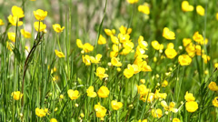 Yellow flowers (Ranunculales) Stock Footage