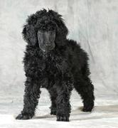 Standard poodle puppy Stock Photos