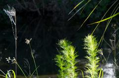 Stock Photo of close up of weeds at river