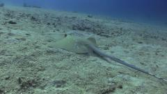Whip Tail Ray Feeding Stock Footage
