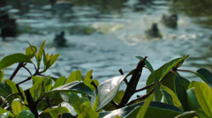 Ducks beyond the Green Leaves Stock Footage