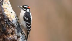 Downy Woodpecker Male Stock Footage