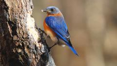 Bluebird Stock Footage
