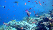 Stock Video Footage of Hard coral reef with clouds of fishes