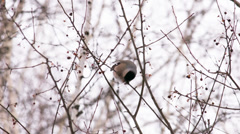 Bullfinch feeds on fruits of the wild apple tree Stock Footage