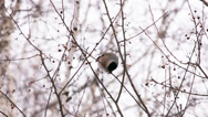 Stock Video Footage of bullfinch feeds on fruits of the wild apple tree