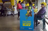 Stock Photo of daffodil day - cancer society