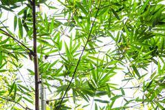 Bamboo green leaf Stock Photos