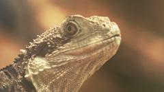 Navassa Island iguana close up Stock Footage