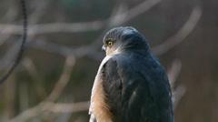Eurasian Sparrowhawk (Accipiter nisus) Stock Footage
