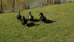 Four ducks. Stock Footage