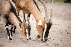 brown domesticated goats eating from sand - stock photo