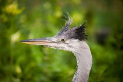 Ardea cinerea The grey heron head portrait Stock Photos