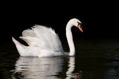 Mute Swan Cygnus olor at lake in Ruciane Nida - stock photo