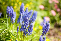 Muscari Mill blue bunches of grapes close-up - stock photo