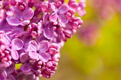 Pink Syringa vulgaris or lilac flowers macro Stock Photos