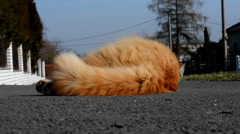 Angry ginger cat on the street Stock Footage