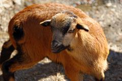Argali, or the mountain sheep Stock Photos