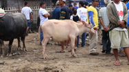 Stock Video Footage of Buffalo market in the island of Negros.