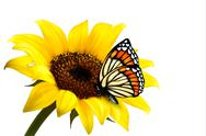 Stock Illustration of nature summer sunflower with butterfly. vector illustration.
