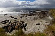 Stock Photo of coastline falkland islands wtih sea lions lying on the beach
