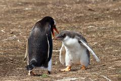 gentoo penguin mother and her chick - stock photo