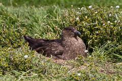 Stock Photo of brown skua is nesting
