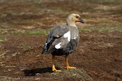 Upland goose female Stock Photos