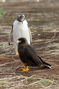 Curios gentoo penguin is looking curios to a caracara bird Stock Photos