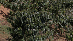 Coffee Tree in Da Lat, Vietnam Stock Footage